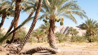 China Ranch date farm: an oasis of date palm trees in the Mojave Desert